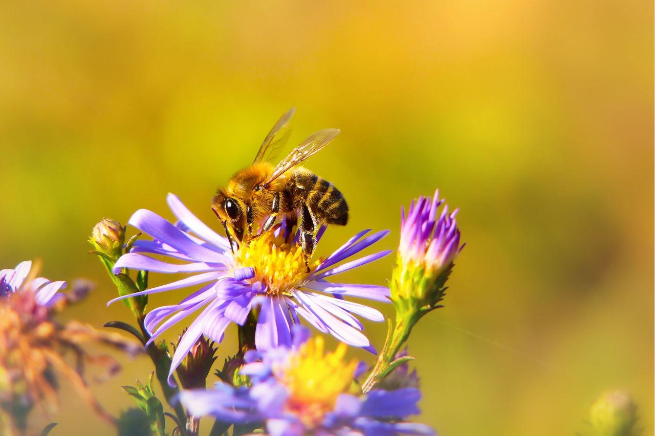 fleurs pour abeilles au balcon