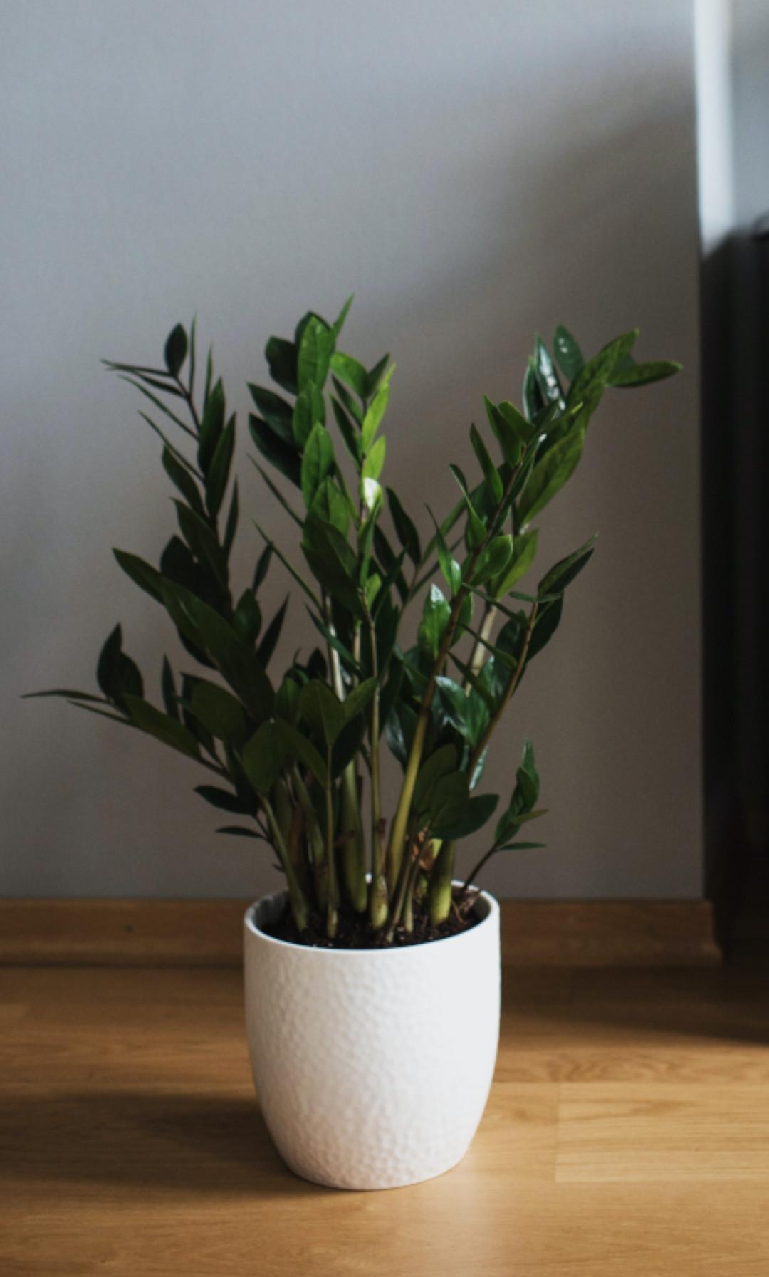 plante de bureau peu lumineux et télétravail, plante zz dans un pot blanc