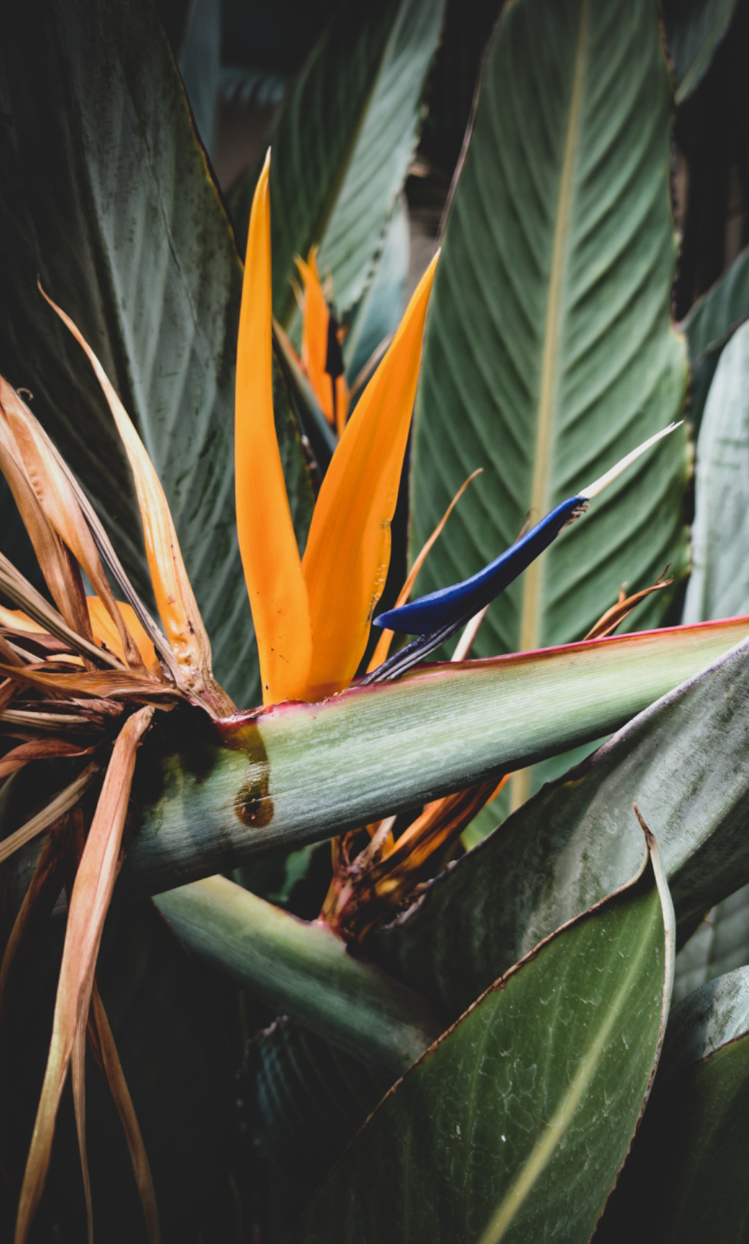 photo plante oiseau de paradis pour bureau en flex office