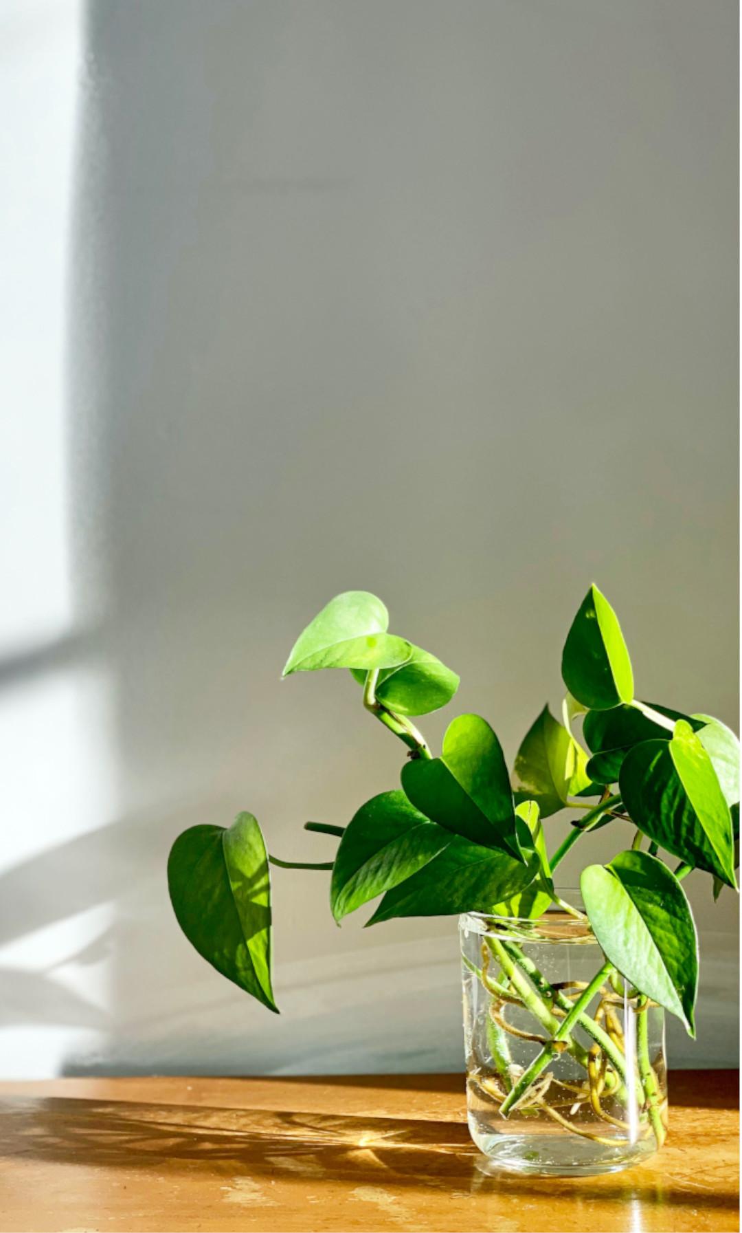 plante verte facile d'entretien pas la main verte, au bureau